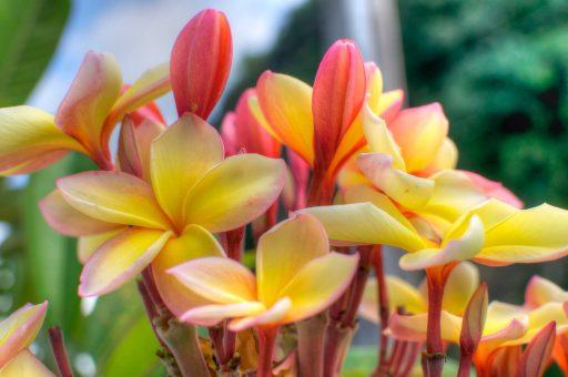 Plumeria (Yellow)