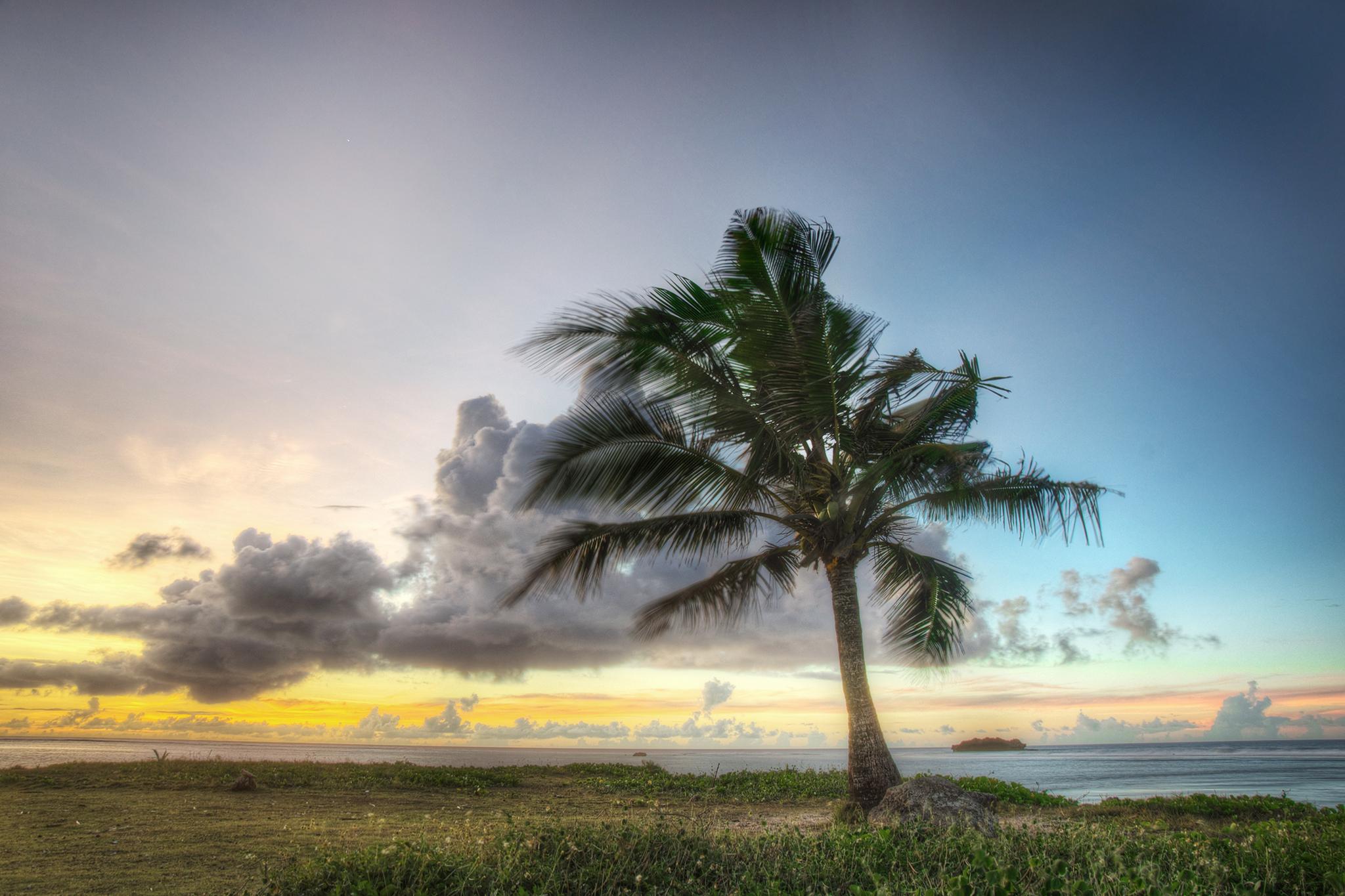 Asan Coconut Tree