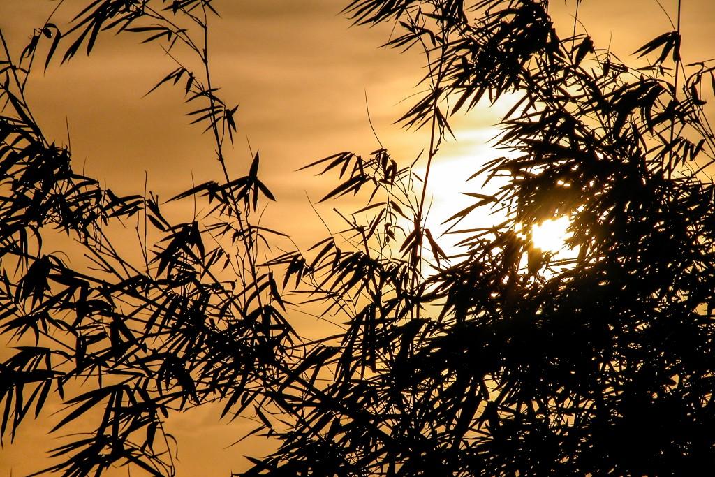 Bamboo Silhouette (February 2003)